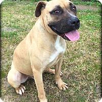 Boxer/Black Mouth Cur Mix Dog for adoption in Demopolis, Alabama - Dirk