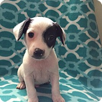 Adopt A Pet :: Pixie's Pup - Pizza - Adoption pending - Catharpin, VA
