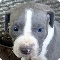 Adopt A Pet :: Tank - Cincinnati, OH