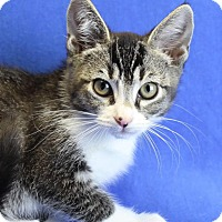 Domestic Shorthair Kitten for adoption in Winston-Salem, North Carolina - Jan