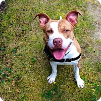 Pit Bull Terrier Mix Dog for adoption in Mansfield, Massachusetts - Mia