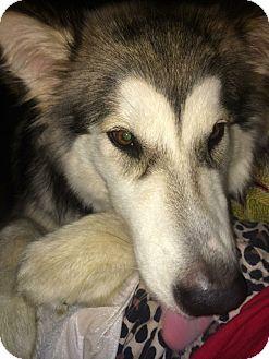 Alaskan Malamute Mix Dog for adoption in Myrtle Beach, South Carolina - Nanuk