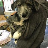 Adopt A Pet :: 'PAMELO' - Agoura Hills, CA