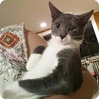 Adopt A Pet :: Laki - Bensalem, PA