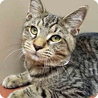 Domestic Shorthair Cat for adoption in Plainfield, Illinois - Wrigley