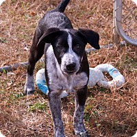 Border Collie/Australian Cattle Dog Mix Puppy for adoption in Staunton, Virginia - abraham