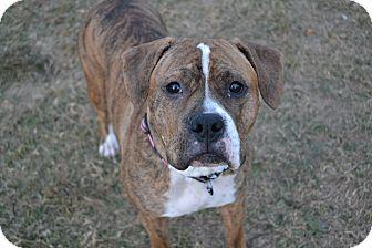 Boxer Mix Dog for adoption in Lancaster, Pennsylvania - Presley Pending Adoption