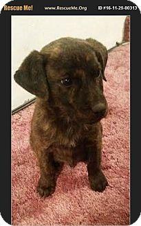 Redtick Coonhound/Siberian Husky Mix Puppy for adoption in Denver, Colorado - Bud