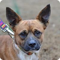 Adopt A Pet :: Dingo - Acworth, GA
