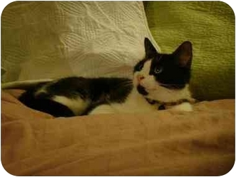 Domestic Shorthair Cat for adoption in Manalapan, New Jersey - Shayla
