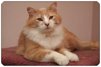 Domestic Mediumhair Cat for adoption in Sterling Heights, Michigan - Colby Jack