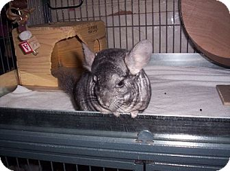 Chinchilla for adoption in Avondale, Louisiana - Maggie