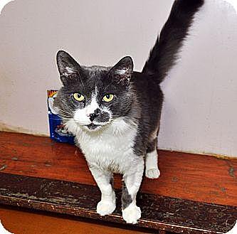 Domestic Shorthair Cat for adoption in West Hartford, Connecticut - Felipe