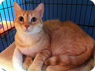 Domestic Shorthair Cat for adoption in Topeka, Kansas - Mama Mia
