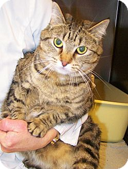 Domestic Shorthair Cat for adoption in Toledo, Ohio - Maggie