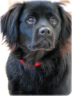 Border Collie/Cocker Spaniel Mix Dog for adoption in Indianapolis, Indiana - Riley