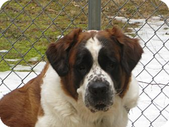 St. Bernard Dog for adoption in Sudbury, Massachusetts - KYLIE