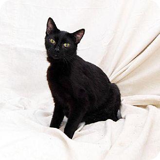 Domestic Shorthair Cat for adoption in Bonsall, California - Black Velvet