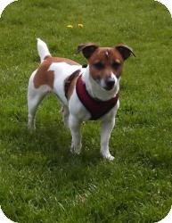 Jack Russell Terrier Dog for adoption in South Amboy, New Jersey - Jack