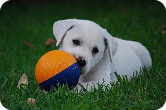 Labrador Retriever/German Shepherd Dog Mix Puppy for adoption in Torrance, California - ABBIE