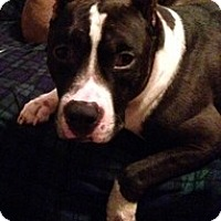 Pit Bull Terrier Mix Dog for adoption in Spring City, Tennessee - Rockstar