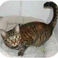 Adopt A Pet :: Tigger - Lake Ronkonkoma, NY