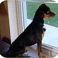 Adopt A Pet :: Charlie - Florissant, MO