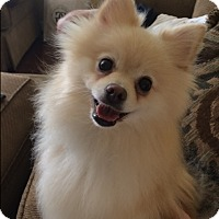 Adopt A Pet :: Madden- Courtesy Post - Alpharetta, GA