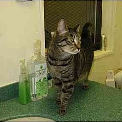 Photo 3 - Domestic Shorthair Cat for adoption in New York, New York - Suggy