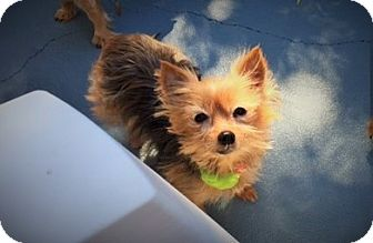 Yorkie, Yorkshire Terrier Dog for adoption in Long Beach, Mississippi - Doodlebug