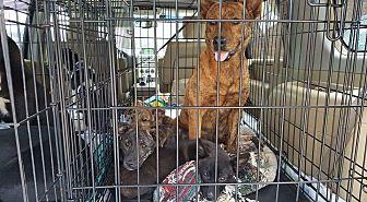Labrador Retriever Mix Puppy for adoption in Triangle, Virginia - Nutmeg/Basil/Sage/Cayenne