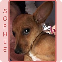 Adopt A Pet :: SOPHIE - COURTESY POST - Dallas, NC