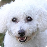 Bichon Frise Dog for adoption in Colorado Springs, Colorado - Elliott