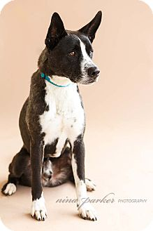 Border Collie/Cattle Dog Mix Dog for adoption in Marietta, Georgia - Buckley