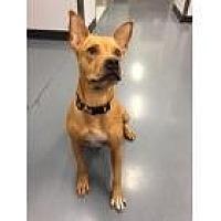 Labrador Retriever/Shar Pei Mix Dog for adoption in Scottsdale, Arizona - Amelia