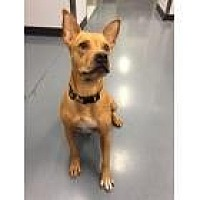 Adopt A Pet :: Amelia - Scottsdale, AZ