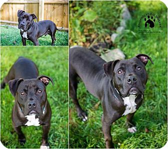 Staffordshire Bull Terrier/American Staffordshire Terrier Mix Dog for adoption in Gloversville, New York - Charlie