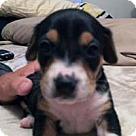 Adopt A Pet :: Baby Blue's Bentley