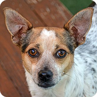 Jack Russell Terrier Mix Dog for adoption in Burlingame, California - Heather