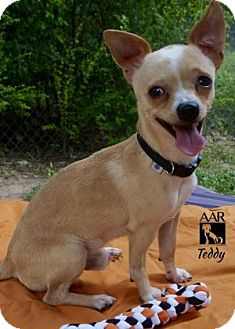 Chihuahua Dog for adoption in Tomball, Texas - Teddy