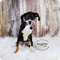 Adopt A Pet :: Lucky - Lubbock, TX