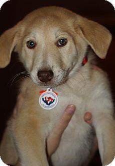 Labrador Retriever Mix Puppy for adoption in Holly Springs, North Carolina - Blake