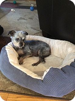 Cairn Terrier Mix Dog for adoption in Patterson, New York - Cookie