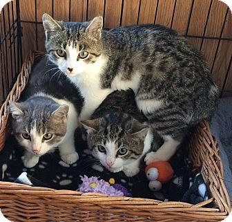 Domestic Shorthair Kitten for adoption in Manasquan, New Jersey - white gray tabby kitten male