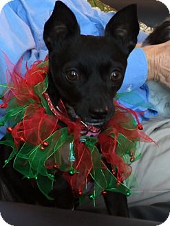 Chihuahua Mix Dog for adoption in Edmonton, Alberta - Dolly