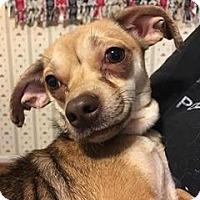 Adopt A Pet :: Squirrel - Pottstown, PA