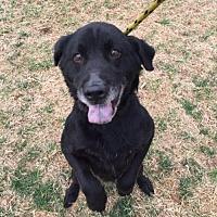 Adopt A Pet :: Bear Bear - Matthews, NC