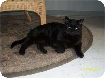 Domestic Shorthair Cat for adoption in Lenexa, Kansas - Missy