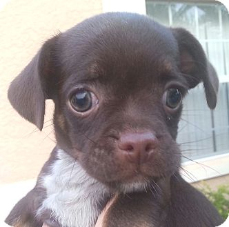 Pug/Dachshund Mix Puppy for adoption in Orlando, Florida - Lele#2F