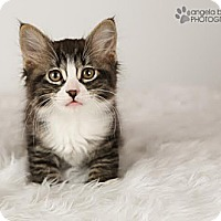 Adopt A Pet :: Paisley - Eagan, MN